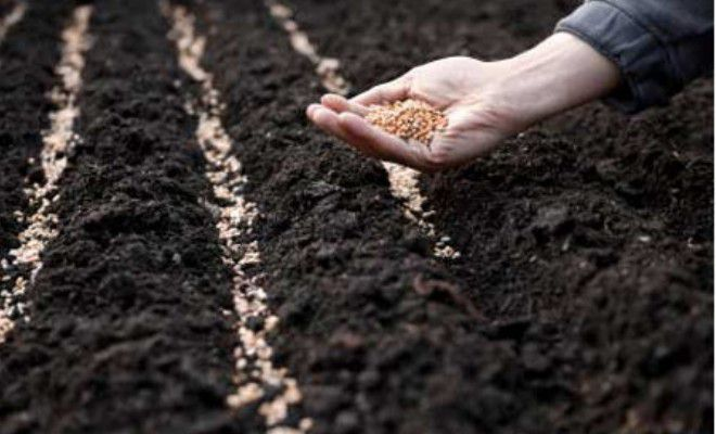 Эшшольция выращивание из семян когда сажать