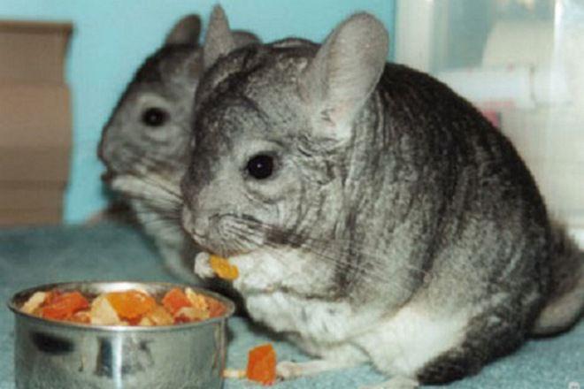 Что кушают шиншиллы в домашних условиях