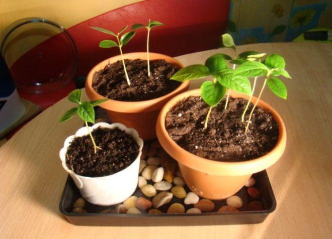 как посадить хурму в домашних условиях