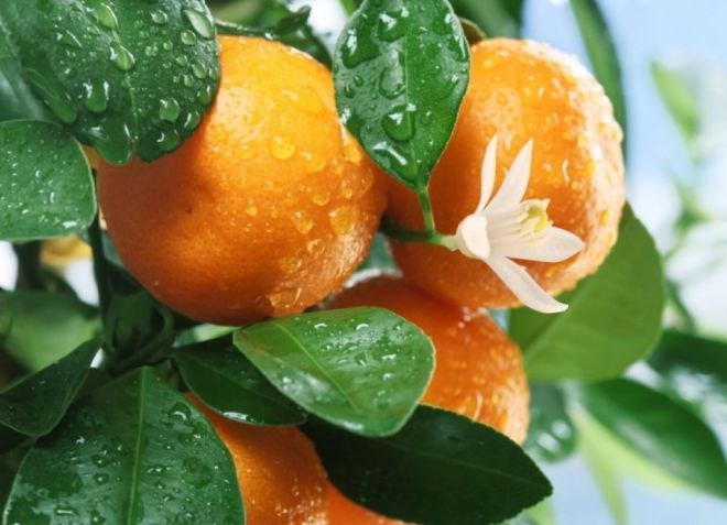 Цветы мандарина