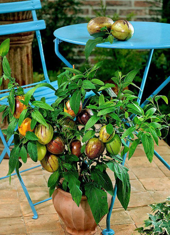 Пепино: выращивание в домашних условиях из семян, уход 90