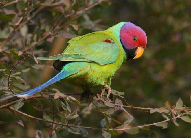 ожереловые попугайчики уход кормление