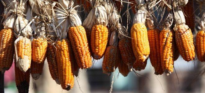 как засушить кукурузу на зиму