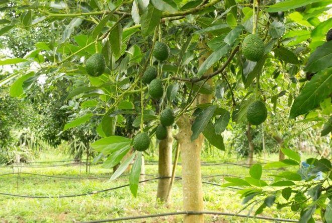 как выглядит дерево авокадо