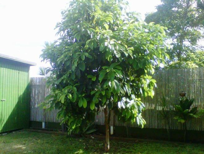посадка авокадо на улице