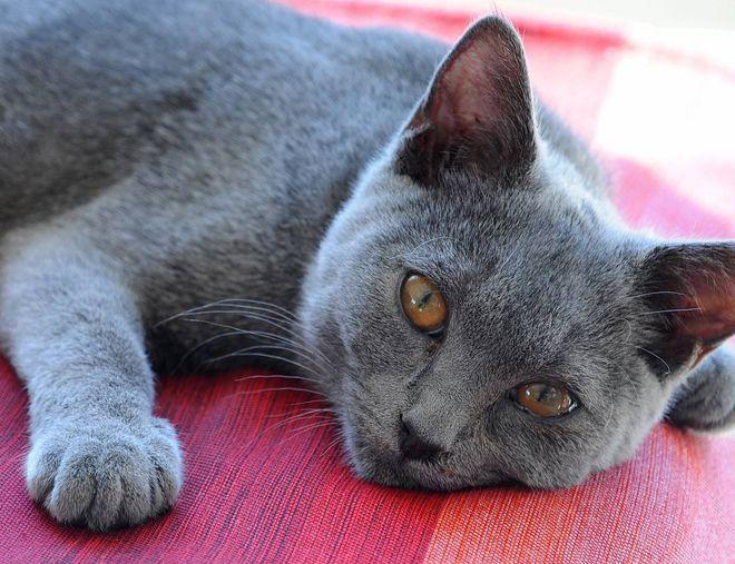 картезианская кошка характер