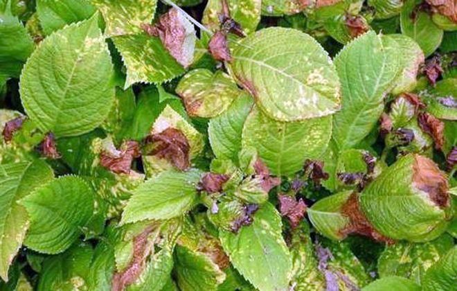 желтеют листья у гортензии метельчатой