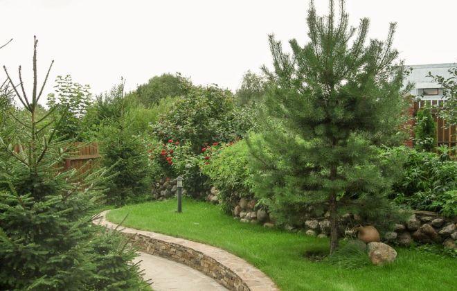 Сосна кедровая в ландшафтном дизайне соседи