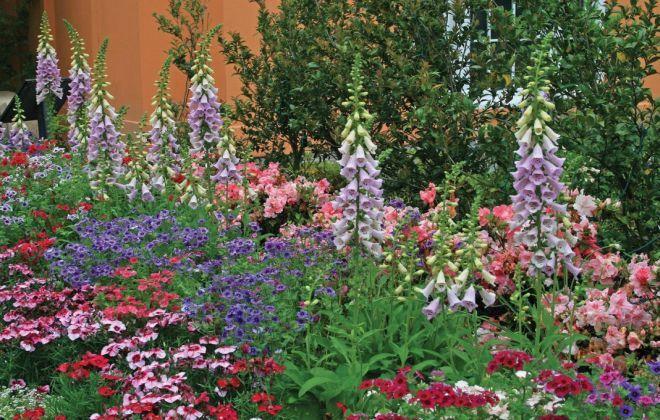 Наперстянка пурпурная в ландшафтном дизайне цветник