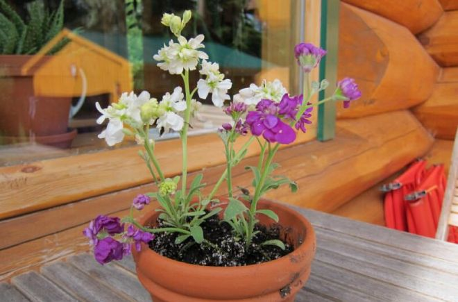 маттиола двурогая выращивание на балконе