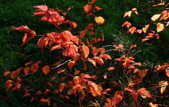 пересадка стефанандры осенью