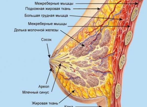фото как устроенна женская грудь