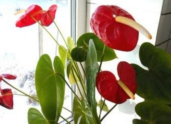 домашние цветы колокольчики фото