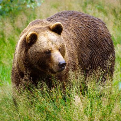 К Чему Снится Кормить Медвежонок