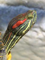 Как кормить красноухую черепаху?