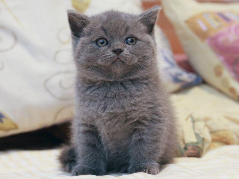 Имена для серого кота шотландца