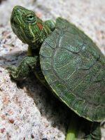 Как определить возраст красноухой черепахи?