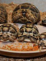 Как определить возраст сухопутной черепахи?