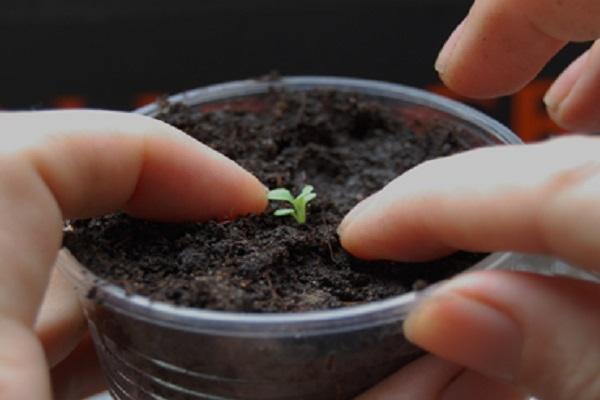Пошаговый рост петунии