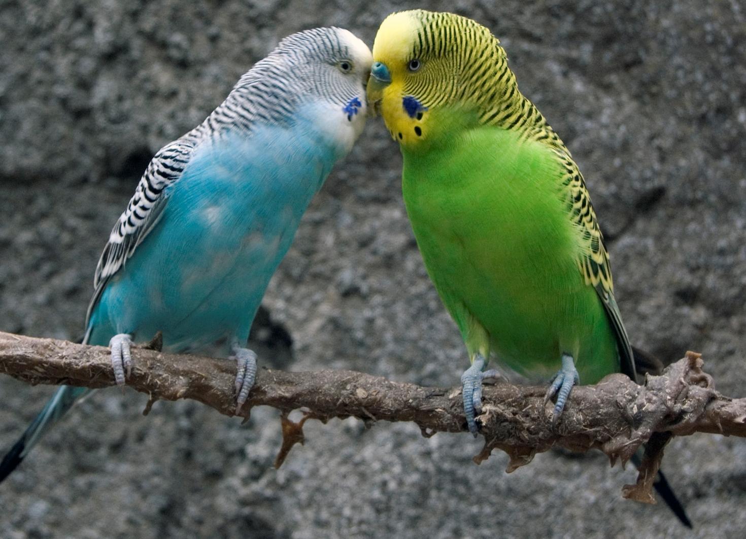 Волнистые попугаи размножение в домашних условиях 88