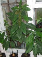 Как вырастить манго?