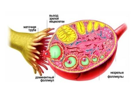 большое количество фолликулов в яичниках