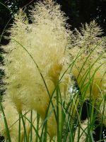 Кортадерия серебристая – выращивание из семян