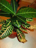 Кротон - сохнут и опадают листья