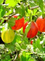Бесшипная ежевика выращивание и уход