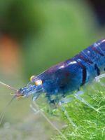 Аквариумные креветки - содержание с рыбками