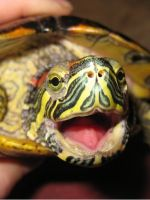 Болезни красноухих черепах