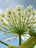 Золотой корень – лечебные свойства