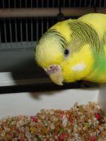 Чем кормить волнистых попугаев?