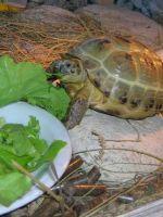 Чем кормить сухопутную черепаху зимой?
