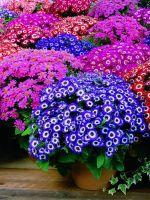 Цветы вейгела  посадка и уход фото вейгелы обрезка и