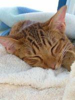 Цистит у кошек: лечение