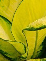 Диффенбахия - желтеют листья