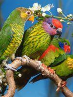 Домашние попугаи - виды