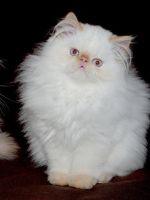 Чем кормить шотландскую вислоухую кошку
