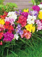 Цветы дубки