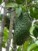 Где растет гуанабана?