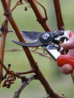 Как подготовить к зиме малину?