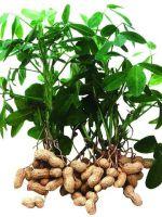 Как растет арахис?