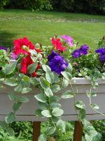 Как вырастить рассаду петунии?