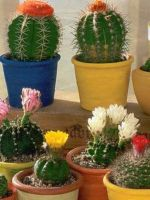 Домашние кактусы: вред и польза