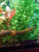 Каламоихт - содержание в аквариуме