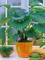 Калатея - сохнут кончики листьев