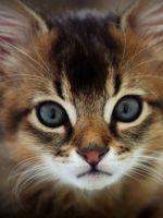 Когда делать прививки котятам?