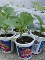 Когда сажать капусту на рассаду?