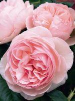 Комнатная роза - уход